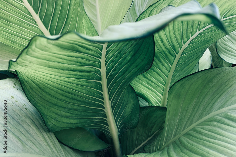 Fototapeta Abstract tropical green leaves pattern, lush foliage houseplant Dumb cane or Dieffenbachia the tropic plant.