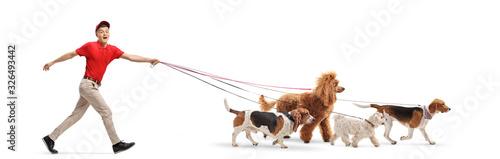 Fototapeta Guy dog walker walking four dogs obraz