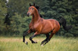 The bay horse gallops on the grass