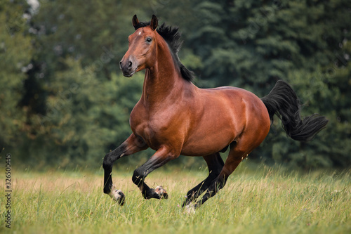 Fototapeta The bay horse gallops on the grass obraz