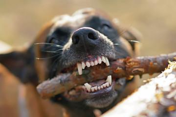 Adult Belgian Shepherd dog Malinois showing its teeth chewing a pine tree stick