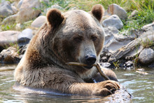 Cute Grizzly Bear Closeup Playing With A Stick