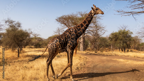 Senegal Safari Series: Giraffe