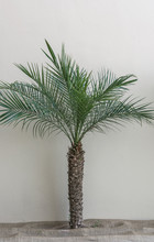 Single Short Palm Tree Against...