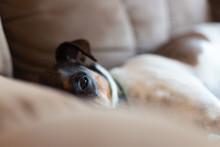 Depressed, Sad Looking Dog Lay...
