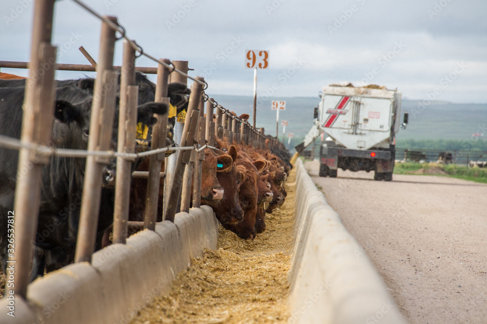 Fototapeta A feed truck delivers feed rations to cattle in a feedlot.