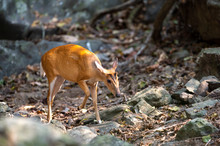 Barking Deer Or Muntjac Walking Around In The Forest