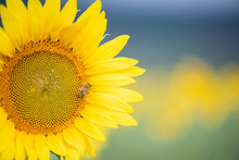 Sunflower Blooming, Bumble Bee Pollinating, Sunflower Field