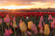 A single white tulip in a field of red tulips at sunset