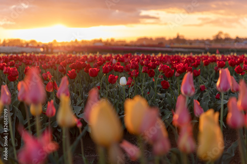 A single white tulip in a field of red tulips at sunset Wallpaper Mural