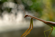 Close Up Of Female Mantis Insect Resting On Tree Branch