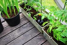 Planting Tomatoes Seedlings.Ve...
