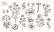 Vector collection of hand drawn flowers. Vintage Botanical Flowers. Peony, daisies, clover, violets, leaves and various herbs