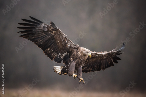 Fotografie, Tablou Isolated white-tailed eagle in flight with fully open wings