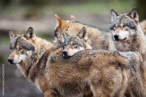 Leinwand Poster Family of grey wolf in the forest