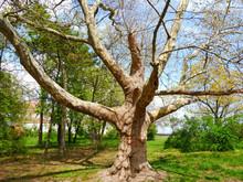 Sycamore. Platan. Plane-tree. Beautiful  Sycamore.
