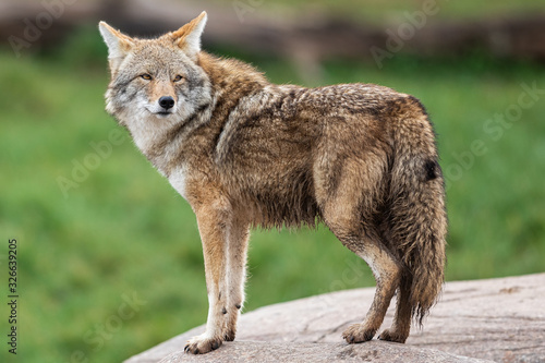 Canvas-taulu Portrait of Coyote in the meadow