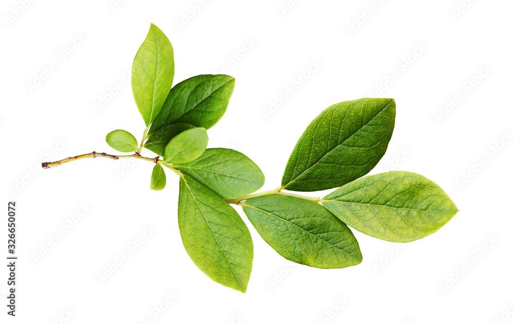 Fototapeta Green leaves of blueberry