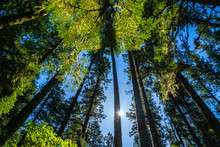 Looking Up To Towering Trees W...