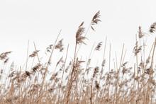 Dry Coastal Reed In Winter Und...