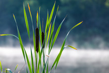 Typha Or Bulrush. Aquatic Plant Leaves And Flowers