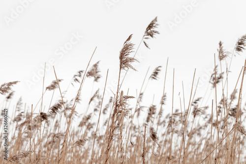 Dry coastal reed in winter under overcast gray sky Fototapeta