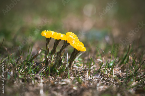 Tussilago farfara commonly known as coltsfoot Canvas-taulu