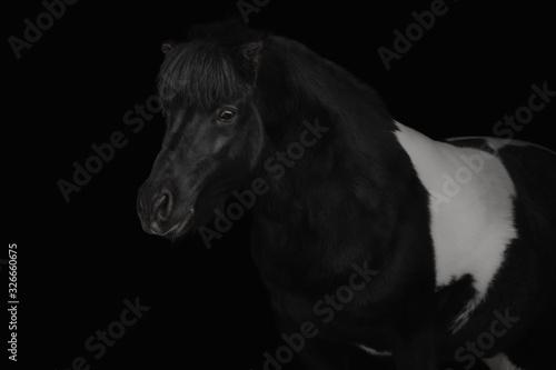Stampa su Tela Portrait of a pony on a black background