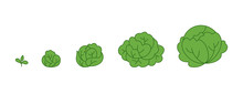 Cabbage Plant. Growth Stages. ...