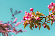 Blooming Apple Tree With Pink Flowers On A Blue Sky Background, Spring Flowering