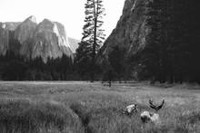 Mule Deer With Antlers On The ...