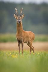 Fototapeta Zwierzęta Roebuck - buck (Capreolus capreolus) Roe deer - goat