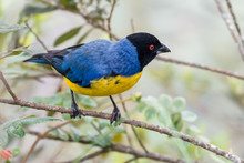 Colorful Tanager Standing In A...
