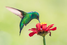 Symbiosis Of The Hummingbird A...