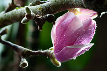 Wet Blooming Fresh Magnolia Cl...