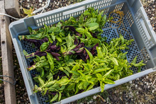 Harvesting Basil On Urban Rooftop Farm
