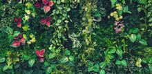 Green Creeper, Vine Or Ivy And Red Leaves Wall For Background In Blue Vintage Filter Tone. Natural Wallpaper Or Nature Pattern. Freshness Season