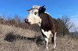 Cow lowing on a pasture in the forest on blue sky background. Rural landscape, dairy farming