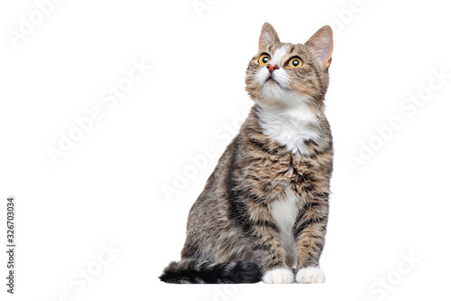 Obraz Curious tabby cat looking up to the copy space area - fototapety do salonu