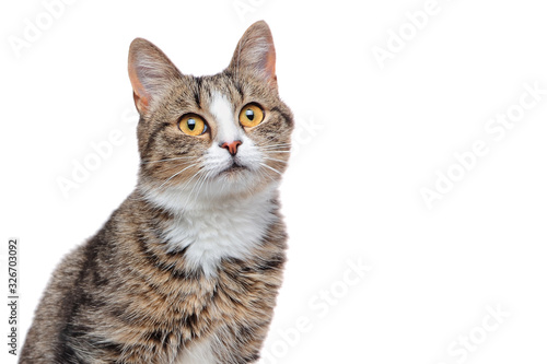 Obraz na plátně head shot of a mixed breed cat isolated on white
