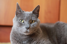 Closeup Of A Carthusian Cat Looking Into The Camera In A Domestic Setting