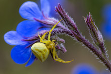 Yellow Crab Spider (Thomisus Onustus) On A Blue Flower