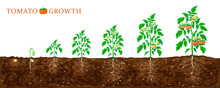 Tomato Plant Growth Stages Fro...