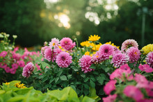 Beautiful Flower Garden With Blooming Asters And Different Flowers In Sunlight
