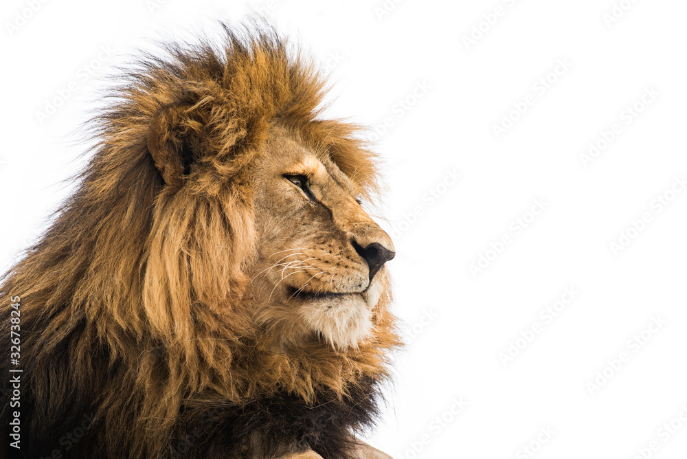 Fototapeta Isolated lion on white. Wild african lion looking forward