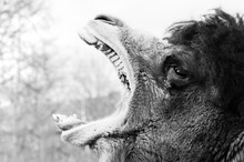 Brown Furry Camel Close Up Vie...
