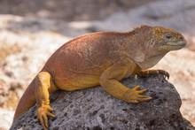 Land Iguanas On Plaza Sur Island, Galapagos Islands, Ecuador