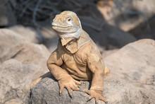 Land Iguana On A Beach Rock, S...
