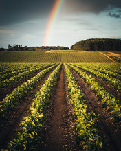 Rainbow Over A Field Of Crops
