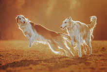 Two Russian Wolfhounds At Sunset
